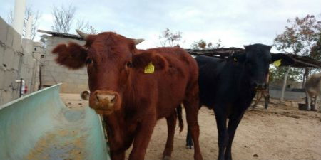Red Heifer Update: Baja, Mexico