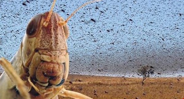 Locust Plague in Syria